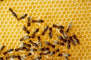 Как именно пчелы делают соты