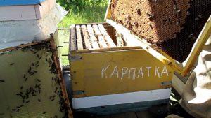 Пчела карпатка или карника будет лучше