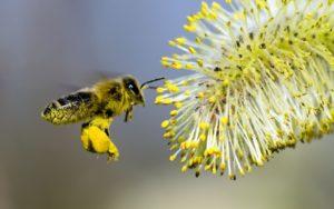 Полезные свойства и как принимать пчелиную пыльцу