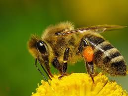 Сколько дней живут медоносные пчелы