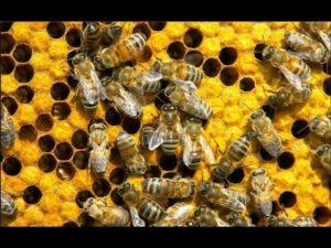 Как можно приготовить пчелиный подмор своими руками дома