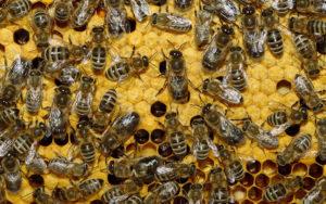 Сколько пчел можно одновременно содержать в одном улье